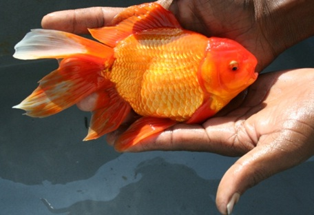 Naip national agricultural innovation achivement for Ornamental pond fish types